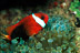 Red/Black Anemonefish