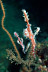 Harlequin Ghost Pipefish Pair