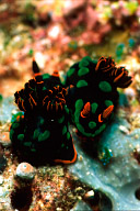 Mating Nembrotha Kubaryana