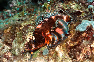Oscellated Lionfish