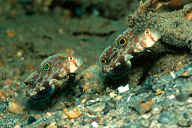 Twinspot Goby Pair