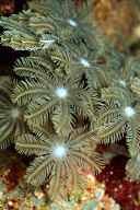 Clavularia Soft Coral