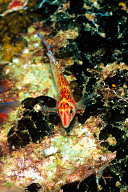 Triplefin