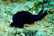 Lyretail Sea Slug
