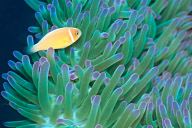Juvenile Pink Anemonefish