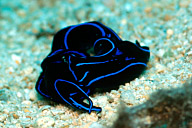 Mating Lyretail Sea Slugs