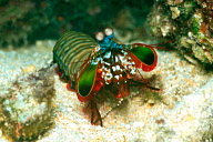 Mantis Shrimp, Odontodactylus Scyllarus