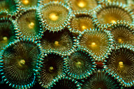Zoantharian