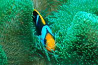 Orange Fin Anemonefish