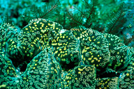 Tridacna Gigas, Giant Clam
