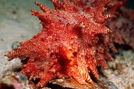 Thelenota Rubralinata