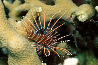 Really Juvenile Lionfish