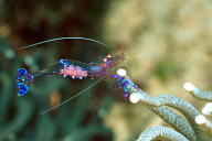 Pederson's Cleaner Shrimp with Eggs
