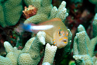 Arceye Hawkfish