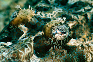 Crocodilefish Eye