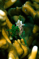 Saron Neglectus Shrimp