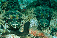 Crocodilefish Pair