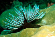 Tube Worm
