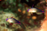 Decorated Dartfish Pair