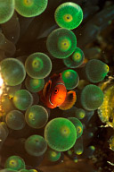 Juvenile Spinecheek Anemonefish