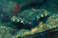 Pair Twinspot Gobies