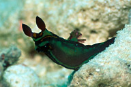 Tambja sp 3 Nudibranch