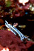 Chromodoris lochi Nudibranch