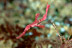 Pink Robust Ghost Pipefish