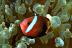 Dusky Anemonefish