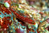 Neon Triplefin Goby