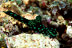 Nembrotha Cristata Nudibranch