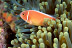 Pink Anemonefish with Eggs