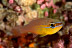 Yellow-striped Cardinalfish