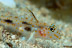 Orange Spotted Sand Goby