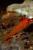 Ring-eye Pygmy Goby