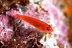 Ring-eye Pygmy Goby