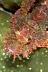 Pink Scorpionfish