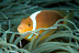 White Bonnet Anemonefish
