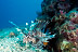 Lionfish Scenic