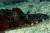 Black Crocodilefish