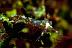 Chinese Dragon Nudibranch