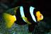 Yawning Clark's Anemonefish