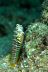 Banded Blenny
