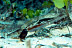 Black Shrimp Goby with Blind Shrimp
