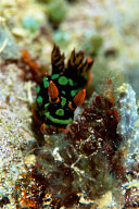 Nembrotha Kubaryana Nudibranch