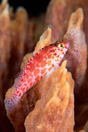 Pixie Hawkfish