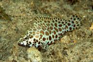Snubnose Grouper Juvenile