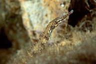 Reeftop Pipefish