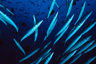 Schooling Barracuda