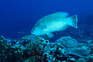 Napolean Wrasse